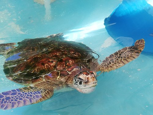Green sea turtle almost fully recovered from long (18 month!) rehabilitation period