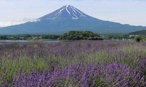 ラベンダーと富士山。 河口湖ハーブフェスティバルのメイン会場。 大石公園。