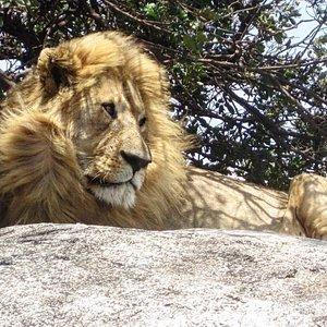The King! Serengeti
