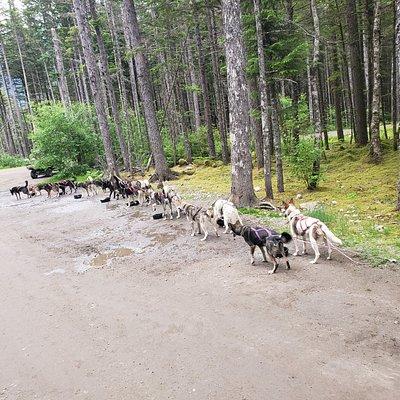 One team of dogs, Alaskan Huskies.