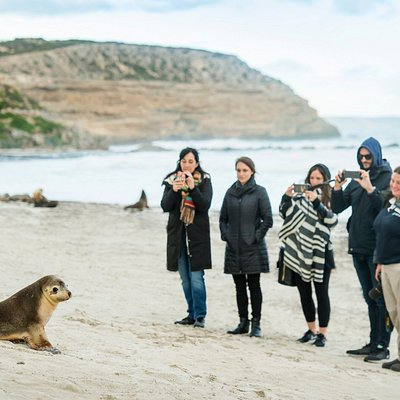 Getting up close with Australian sea lions at Seal Bay Conservation Park on a guided beach tour.