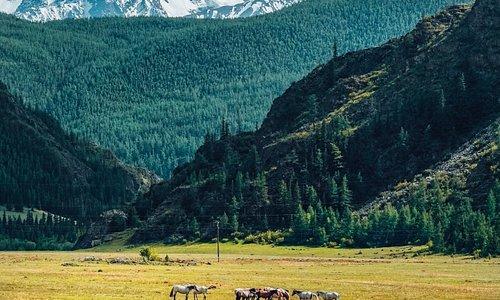Снежные горы, цветущие луга и статные лошади. Это горный Алтай. ❤️