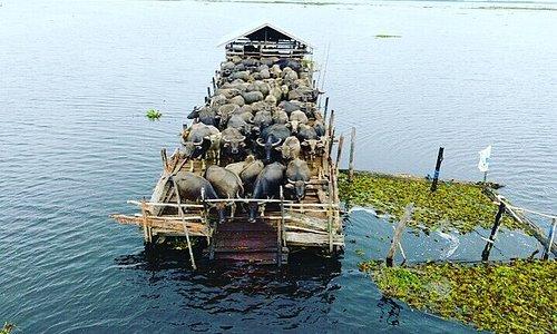 Kerbau Rawa, The Swamp Buffalo Tour