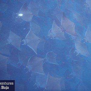 Mobula rays everywhere - snorkeling and freediving paradise
