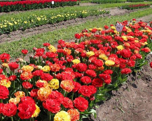 Beautiful varieties of tulips