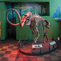 The Columbian mammoth displayed in the Florida Museum of Natural History Central Gallery was found in the Aucilla River.