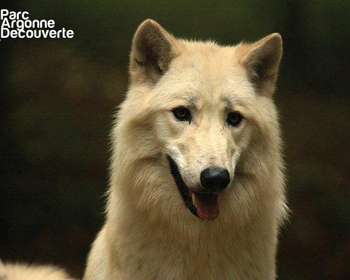 Loup arctique (nouveauté 2019)
