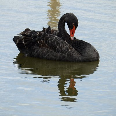 A Majestic Black Swan on one of our ponds, native to Australia