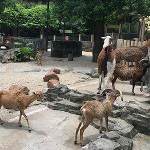 Llamas and Goats