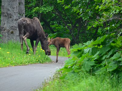 Mother and calf on the trail