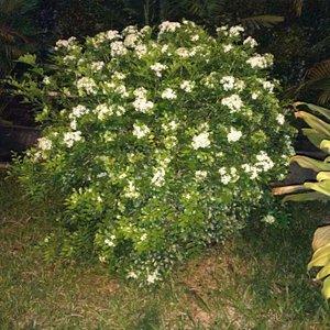 Bunga Melati Hutan