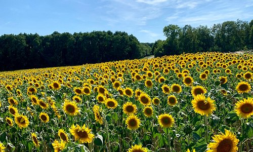 If you like sunflower fields, you'll enjoy driving through Mouzay in the summertime. Can't miss 'em. I'm sure they love it when tourists jump out to take pictures too :)