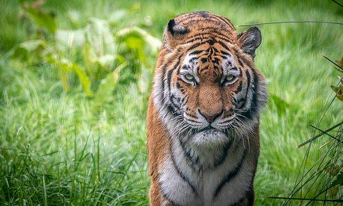 Alyona the tiger