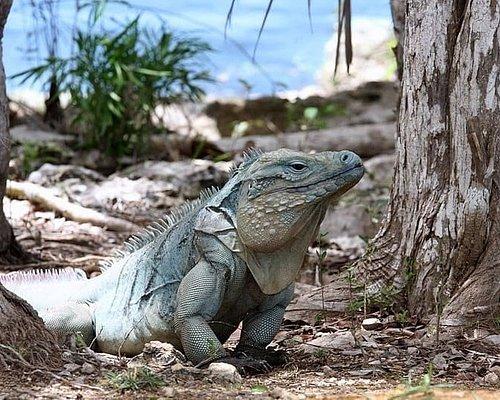 Free roaming Blue Iguana in the Facility