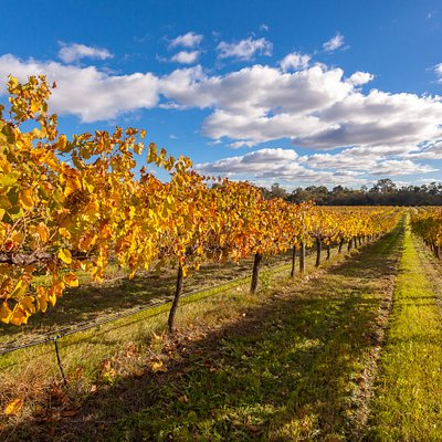 Glorious autumnal grapevines