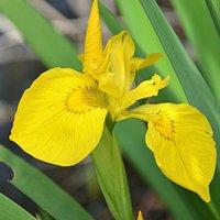 Seltene, gelbe Wasseriris