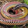 Rainbow_Snake