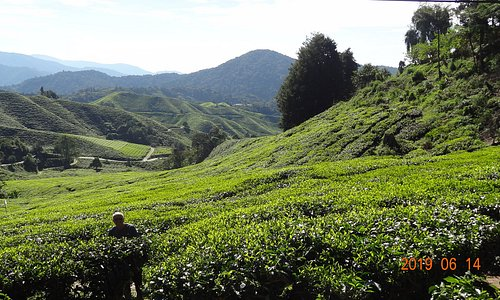 Tea Plantation on the way to Mossy Forrest