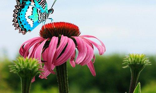 Бабочки тоже любят красивые цветы!