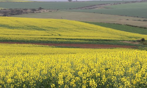 Beautiful yellow Canola fileds in full bloom