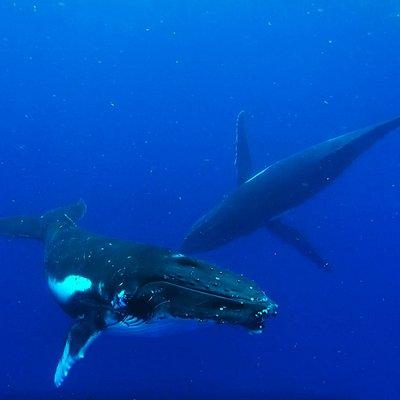 Baleines - Moorea