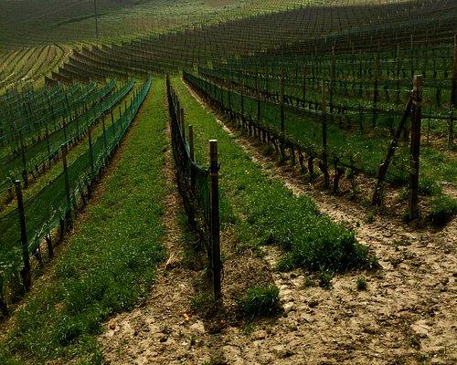 Vineyard ready for the growing season