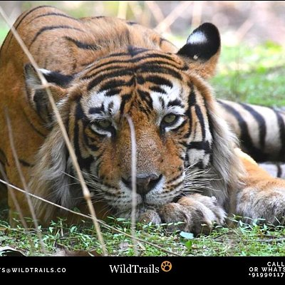 Ranthambore #June2019 Amazing Tiger Sightings