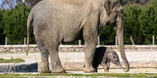 Asya filleri Bebümcan ve İzmir
