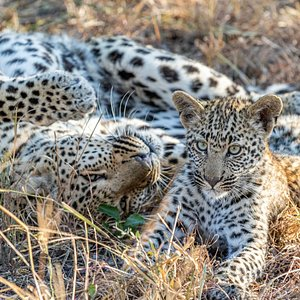 Leopard cubs..Sabi Sands. Yes, we see them frequently! Come on our Luxury Lodge Safaris to see them yourself!