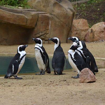 Tučňáci brýloví žijí a hnízdí na pobřeží jižní Afriky. Patří mezi středně velké druhy, dosahují velikosti 60-70 cm a váží 2-4,5 kg. Stejně jako ostatní druhy tučňáků nejsou schopni letu, o to dokonalejší jsou to plavci. Dokáží se potápět až do hloubky 100 metrů. V moři loví ryby menší velikosti, zejména sardinky a ančovičky, které jsou jejich hlavní potravou. Jedná se o zvířata, která v historii nikdy zoo nechovala, zároveň je to druh, který jinde v České republice návštěvníci neuvidí.