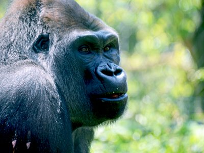 A giant male mountain gorilla. They are immensely powerful animal that can wield power of 10 full-grown men.