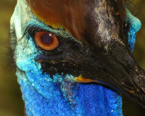 Close up Southern Cassowary