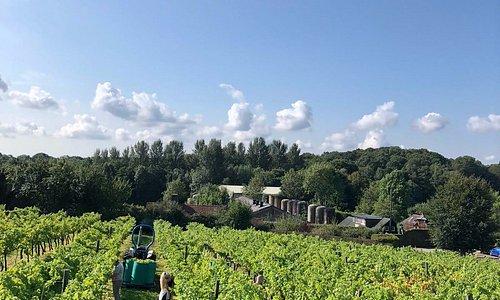 Harvest at Biddenden Vineyards