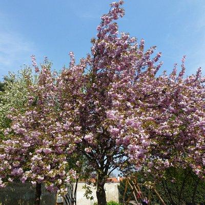 Цветущие деревья кругом...
