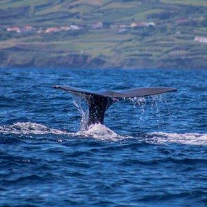 Sperm whale (Physeter macrocephalus) fluke
