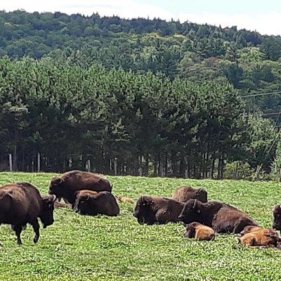 Le troupeau de bisons au repos.