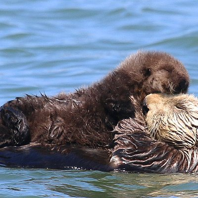 Sea Otter pups like this fluffy newborn can be seen YEAR ROUND on Elkhorn Slough Safari boat tours!