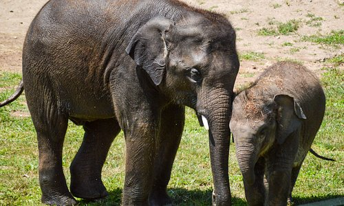 "Brotherly love: 4-year-old Asian elephant Batu nuzzles his baby brother, Ajay (""Ah-JYE"") at the Asian elephant preserve."