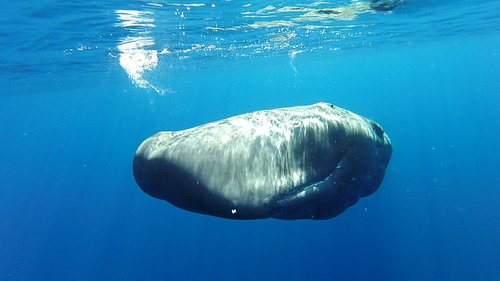 Hello!! When a juvenile sperm whale decides to take a closer look at us