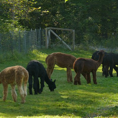 Here they are grazing in the evening shade