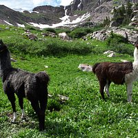 Llamas to help the Forest Service carry tools to the work site