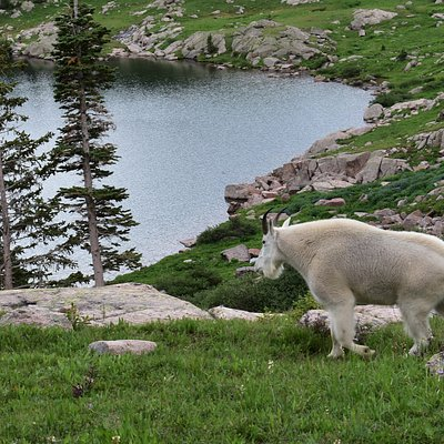 A mountain goat exploring the north shore of Gore Lake