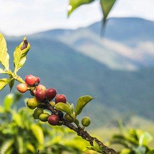 Los paisajes de nuestro cultivo y nuestro hermosos granos de café.