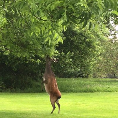 One of our resident deer helping himself to some lunch!