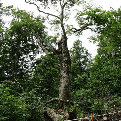 台風で樹齢400年以上のぶなの木(マザーツリー)が倒れていた。