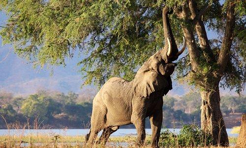 A beautiful elephant bull, feeding on an anna tree at Mana Pools, Zimbabwe