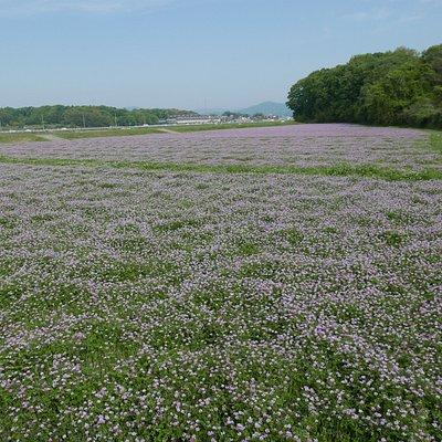 一面のレンゲ畑。ピンクに染まっていました。