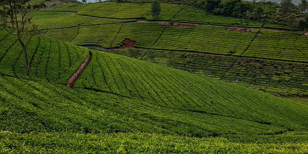 The tea plantations of Tamilnadu make for breath- taking views. Gently rolling expanses of green tea shrubs along the sloping mountains of the Nilgiris are balm to the eyes. Picture perfect postcards, I call them.