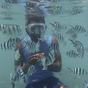 Snorkeling  Trip at Mnemba Island. Zebra fish feeding ..