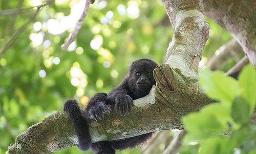 A Howler Monkey in the tree at Punta Laguna Mexico.